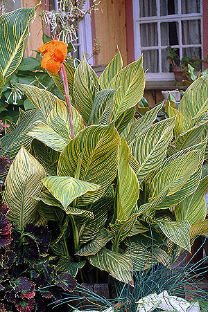 cannas, canna, foliage, green, filler plant, landscape
